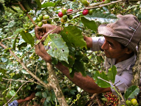 Cuban coffee picker in the eastern province of Santiago de Cuba. Photo: AFP